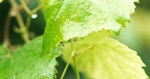 Φρέσκα πράσινα φύλλα της μακροεντολής σταφυλιών απόθεμα βίντεο