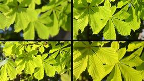 Φρέσκα πράσινα φύλλα του κάστανου σε μια ηλιόλουστη κινηματογράφηση σε πρώτο πλάνο ημέρας απόθεμα βίντεο