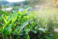 Φρέσκα πράσινα φύλλα τσαγιού σε μια φυτεία τσαγιού το πρωί στοκ φωτογραφία με δικαίωμα ελεύθερης χρήσης