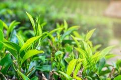 Φρέσκα πράσινα φύλλα τσαγιού στοκ εικόνες