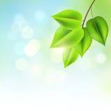 Φρέσκα πράσινα φύλλα απεικόνιση αποθεμάτων