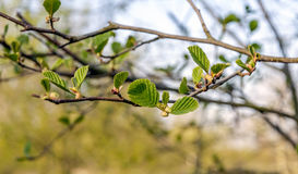 Φρέσκα πράσινα φύλλα ενός μαύρου δέντρου κληθρών από τον περίβολο Στοκ Εικόνες
