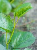 Φρέσκα πράσινα φύλλα κινηματογραφήσεων σε πρώτο πλάνο της δόξας πρωινού παραλιών (Ipomoea pes-γ Στοκ φωτογραφίες με δικαίωμα ελεύθερης χρήσης