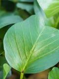Φρέσκα πράσινα φύλλα κινηματογραφήσεων σε πρώτο πλάνο της δόξας πρωινού παραλιών (Ipomoea pes-γ Στοκ Εικόνες