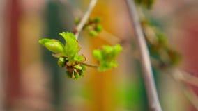 Φρέσκα πράσινα φύλλα στην κορυφή του κλαδίσκου δέντρων απόθεμα βίντεο