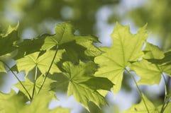 Φρέσκα πράσινα φύλλα φυλλώματος Στοκ Φωτογραφία