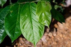 φρέσκα πράσινα φύλλα Στοκ Φωτογραφία