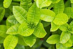 φρέσκα πράσινα φύλλα Στοκ φωτογραφία με δικαίωμα ελεύθερης χρήσης