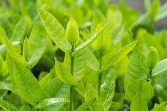 φρέσκα πράσινα φύλλα Στοκ εικόνα με δικαίωμα ελεύθερης χρήσης