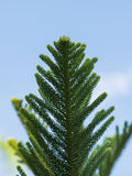 Φρέσκα πράσινα φύλλα araucariaceae στο δέντρο Στοκ Εικόνα