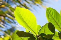 Φρέσκα πράσινα φύλλα frangipani Plumeria Στοκ Φωτογραφία