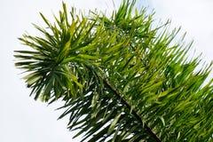 Φρέσκα πράσινα areca φύλλα catechu στον κήπο φύσης Στοκ φωτογραφία με δικαίωμα ελεύθερης χρήσης