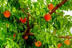 Φρέσκα ροδάκινα που ωριμάζουν στο δέντρο οπωρώνων Στοκ εικόνες με δικαίωμα ελεύθερης χρήσης