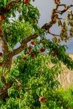 Φρέσκα ροδάκινα που ωριμάζουν στο δέντρο οπωρώνων Στοκ Φωτογραφία