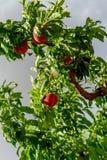 Φρέσκα ροδάκινα που ωριμάζουν στο δέντρο οπωρώνων Στοκ εικόνα με δικαίωμα ελεύθερης χρήσης