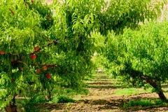Φρέσκα ροδάκινα που ωριμάζουν στο δέντρο οπωρώνων Στοκ Φωτογραφίες