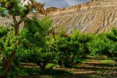 Φρέσκα ροδάκινα που ωριμάζουν στο δέντρο οπωρώνων Στοκ φωτογραφία με δικαίωμα ελεύθερης χρήσης