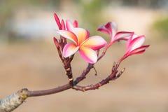 Φρέσκα ρόδινα λουλούδια plumeria στο δέντρο plumeria Στοκ Φωτογραφία