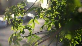 Φρέσκα τραγανά πράσινα φύλλα δέντρων αναδρομικά φωτισμένα Άνοιξη φιλμ μικρού μήκους