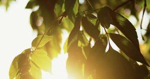 Φρέσκα τραγανά πράσινα ωοειδή φύλλα δέντρων αναδρομικά φωτισμένα μπροστά από τον ουρανό με τη φλόγα ήλιων ενάντια ανασκόπησης μπλ απόθεμα βίντεο