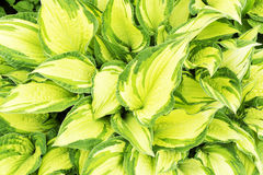 Φρέσκα τροπικά φυτά στον κήπο θερινή περίοδο ημερησίως άνοιξη με το μεγάλο πράσινο κίτρινο υπαίθριο πάρκο υποβάθρου φύσης φύλλων Στοκ Φωτογραφία