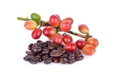 Φρέσκα φασόλια καφέ με το μίσχο και ψημένο arabica ST φασολιών καφέ Στοκ εικόνα με δικαίωμα ελεύθερης χρήσης