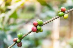 Φρέσκα φασόλια καφέ στο δέντρο εγκαταστάσεων καφέ Στοκ Εικόνα