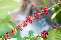 Φρέσκα φασόλια καφέ στο δέντρο εγκαταστάσεων, φρέσκα arabica φρούτα καφέ Στοκ εικόνα με δικαίωμα ελεύθερης χρήσης