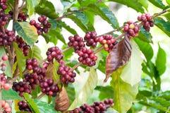 Φρέσκα φασόλια καφέ στο δέντρο εγκαταστάσεων, φρέσκα arabica φρούτα καφέ Στοκ φωτογραφία με δικαίωμα ελεύθερης χρήσης