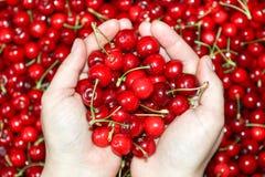 Φρέσκα φρούτα κερασιών υπό εξέταση στο υπόβαθρο γλυκών κερασιών, άποψη άνωθεν Στοκ Φωτογραφίες