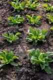 Φρέσκα φυλλώδη λαχανικά στην πλοκή στοκ φωτογραφία με δικαίωμα ελεύθερης χρήσης