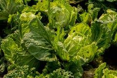 Φρέσκα φυλλώδη λαχανικά στην πλοκή στοκ εικόνες