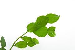 Φρέσκα φύλλα ασβέστη Kaffir που απομονώνονται στο λευκό Στοκ Φωτογραφίες