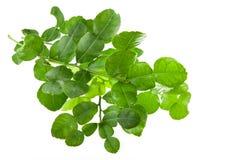 Φρέσκα φύλλα ασβέστη Kaffir που απομονώνονται στο λευκό Στοκ Εικόνα