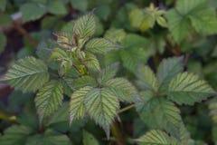 φρέσκα φύλλα βατόμουρων με τους νέους οφθαλμούς που δεν έχουν ανθίσει ακόμα κοντά επάνω ενάντια στο έδαφος στοκ φωτογραφίες
