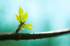 φρέσκα φύλλα κλάδων νέα Στοκ Εικόνα