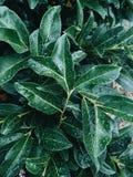 Φρέσκα φύλλα πράσινων φυτών με τις σταγόνες βροχής ενάντια ανασκόπησης μπλε σύννεφων πεδίων άσπρο σε wispy ουρανού φύσης χλόης πρ Στοκ Φωτογραφία
