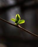 φρέσκα φύλλα Στοκ Εικόνες