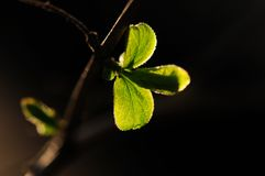 φρέσκα φύλλα Στοκ εικόνα με δικαίωμα ελεύθερης χρήσης