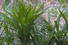 Φρέσκα φύλλα Pandan στον κήπο στοκ εικόνα με δικαίωμα ελεύθερης χρήσης