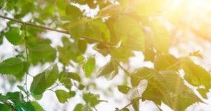 Φρέσκα φύλλα ανοίξεων στο θολωμένο ουρανό με το τρέμοντας υπόβαθρο ήλιων φιλμ μικρού μήκους