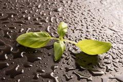 Φρέσκα φύλλα βασιλικού Στοκ Εικόνα