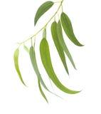φρέσκα φύλλα ευκαλύπτων Στοκ Εικόνα