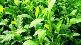 Φρέσκα φύλλα και plantain πικραλίδων την άνοιξη απόθεμα βίντεο