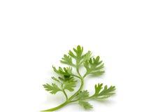 Φρέσκα φύλλα κορίανδρου Στοκ φωτογραφία με δικαίωμα ελεύθερης χρήσης