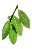 Φρέσκα φύλλα κόλπων σε έναν κλάδο Στοκ Εικόνες