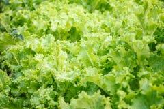 Φρέσκα φύλλα μαρουλιού, πράσινη σαλάτα, εκλεκτική εστίαση Στοκ Φωτογραφίες