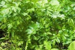Φρέσκα φύλλα μαϊντανού Στοκ Φωτογραφίες