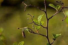 Φρέσκα φύλλα οξιών στο γυμνό κλάδο με το μουτζουρωμένο υπόβαθρο Στοκ Φωτογραφίες