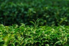 Φρέσκα φύλλα τσαγιού κινηματογραφήσεων σε πρώτο πλάνο πράσινα στη φυτεία Στοκ φωτογραφία με δικαίωμα ελεύθερης χρήσης